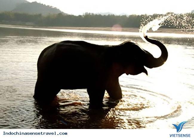 Du Lịch Lào và vấn đề bảo tồn loài voi